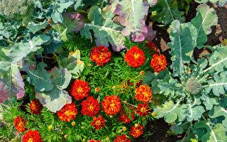 8種適合種在菜園的花 好看好吃還能驅蟲