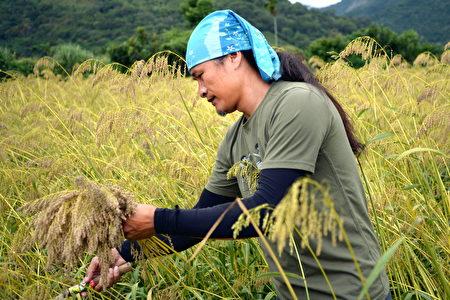 原住民采收台湾油芒谷物。