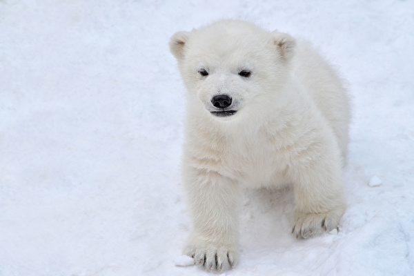 北极熊幼崽被俄罗斯矿工驯服 跟小狗一样乖