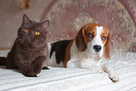 Dog,And,Cat,,Beagle,And,British,Short,Hair,Chocolate,,Indoor,米格鲁,扁脸猫,猫狗,Shutterstock