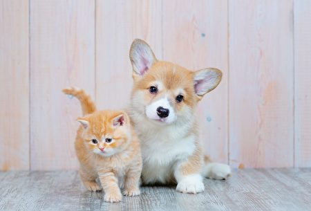 Scottish,Kitten,And,Puppy,Corgi,Sitting,On,The,Floor,Shutterstock,柯基,猫狗