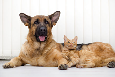 Cat,And,Dog,Together,Lying,On,The,Floor,Shutterstock,德国牧羊犬,猫狗
