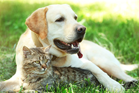 Friendly,Dog,And,Cat,Resting,Over,Green,Grass,Background,Shutterstock,拉不拉多犬,猫狗
