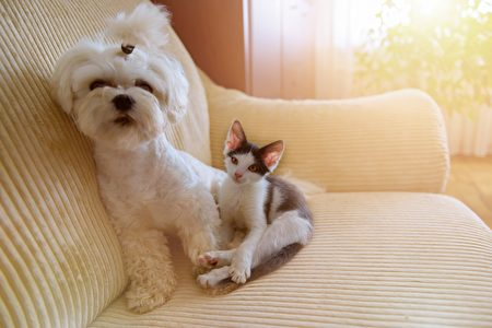 Small,Dog,Maltese,And,A,Little,Kitten,Sitting,On,A,Shutterstock,马尔济斯,猫狗
