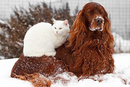 Red,Irish,Setter,Dog,And,White,Cat,In,Snow,Shutterstock,爱尔兰塞特犬,猫狗