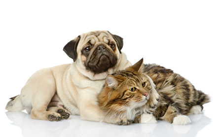 The,Dog,And,Cat,Lie,Together.,Isolated,On,White,Background,Shutterstock,哈巴狗,猫狗