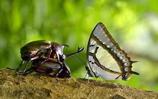 大坑賞蝶開跑 生態園追蝶趣