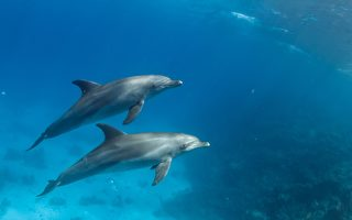 美國女子拍到 兩隻海豚「手牽手」游泳