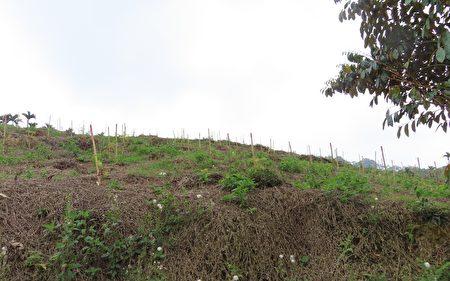 百冠生技捐款認養嘉義縣番路鄉香杉造林地現已栽植完成,捐款後續將會持續運用在林木撫育工作上。
