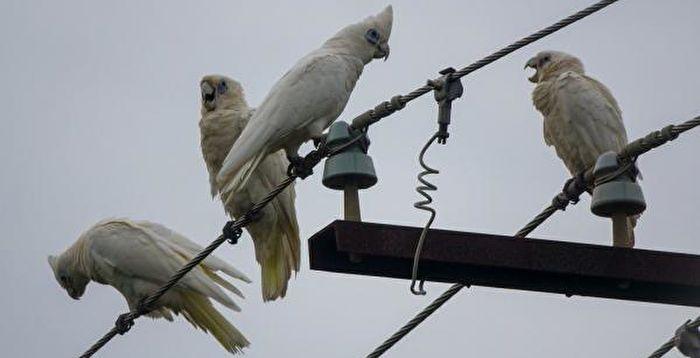 驚擾民眾 成百上千鸚鵡強勢占領澳洲一社區