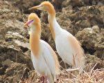 組圖:黃頭鷺台灣島內大遷徙 換漂亮繁殖羽