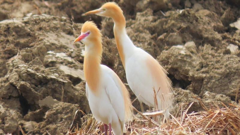 黃頭鷺台灣島內大遷徙 換漂亮繁殖羽