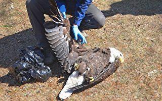 麻州禿鷹誤食老鼠藥而死