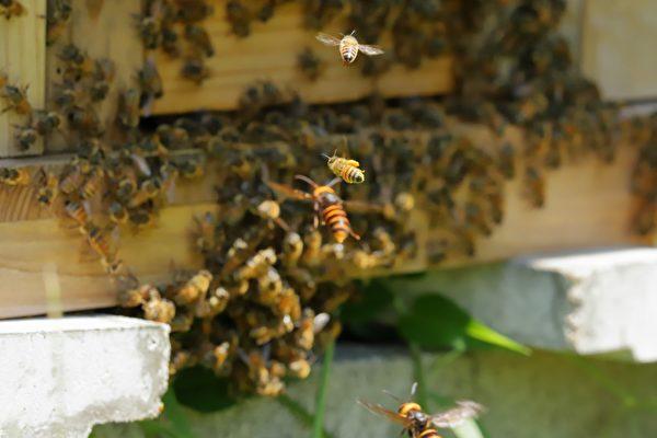 """遭大虎头蜂入侵 日本蜜蜂集体""""热死""""它"""