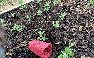 墨尔本部分地区土壤含铅量过高 居民种菜需当心