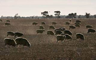 维州运羊卡车翻车 200只羊死亡