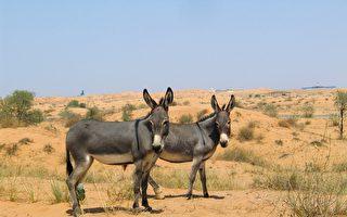 天生絕技 驢會在沙漠挖井找水