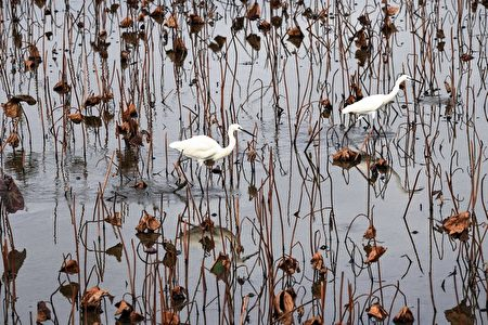 「四季如荷—追荷攝影展」攝影家吳景騰拍攝的「冬日枯荷」。