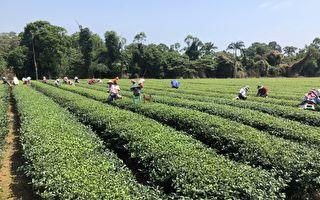 40位選手飆競 東方美人茶製茶技術競賽