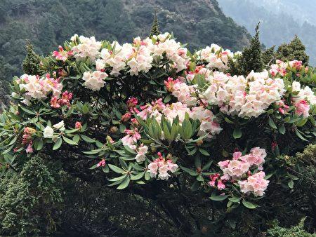 盛開的玉山杜鵑花