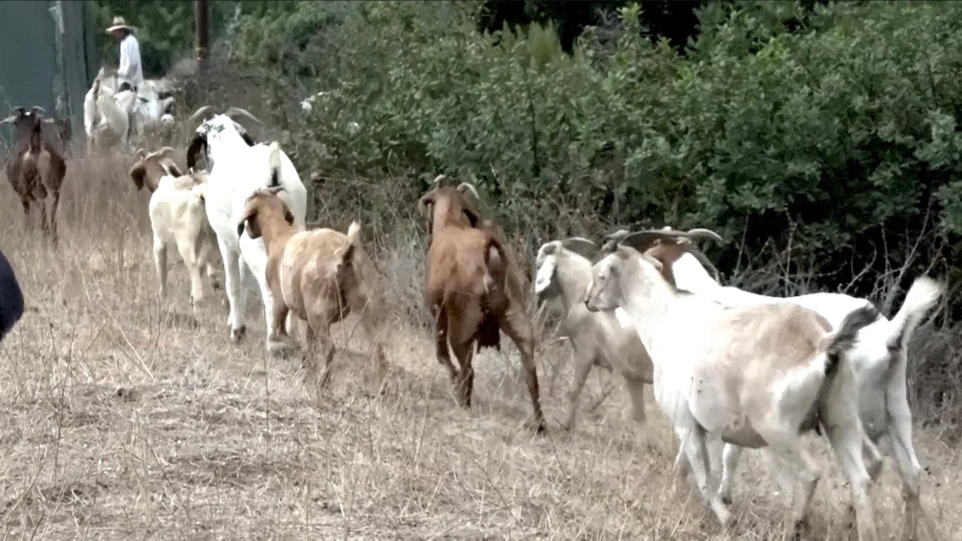 最萌消防队! 加州各地羊群吃草防山火
