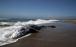 旧金山湾再发现三只死鲸
