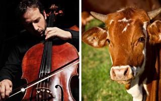 真实版对牛弹琴 丹麦牧场主牛棚开办音乐会