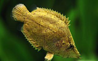 这种鱼会伪装成枯叶 将猎物手到擒来