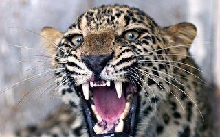 三只金钱豹出逃一周 杭州动物园隐瞒被批