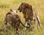 走進非洲(5)蜜月中的獅子