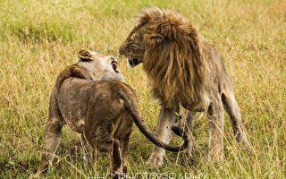 走进非洲(5)蜜月中的狮子