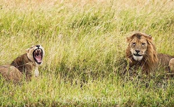 走进非洲, 狮子
