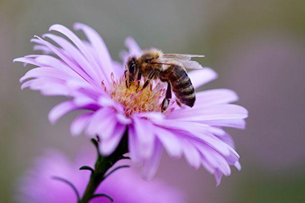 科学家训练蜜蜂嗅出中共病毒 几秒可知结果