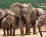 肯亞護林員用這招 讓落單的小象回到象群