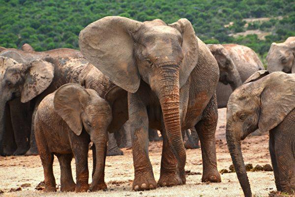 肯亚护林员用这招 让落单的小象回到象群