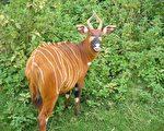 極瀕危動物紫羚在波蘭動物園產下幼仔