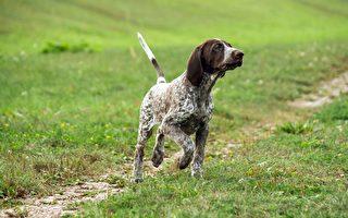 德國短毛指示犬