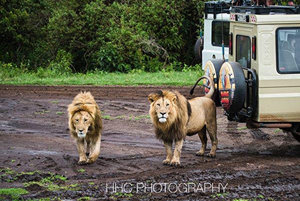 非洲, 獅子