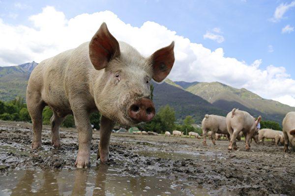 研究:豬鼠可以用直腸呼吸 人類可能也可以