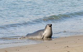 为长胖 雌北象海豹每天觅食20小时睡1小时