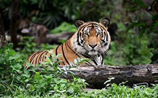老虎在休斯敦街區溜達引驚慌 一週後終被控