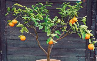 盆栽也可以種果樹?狹小空間栽培果樹的要領