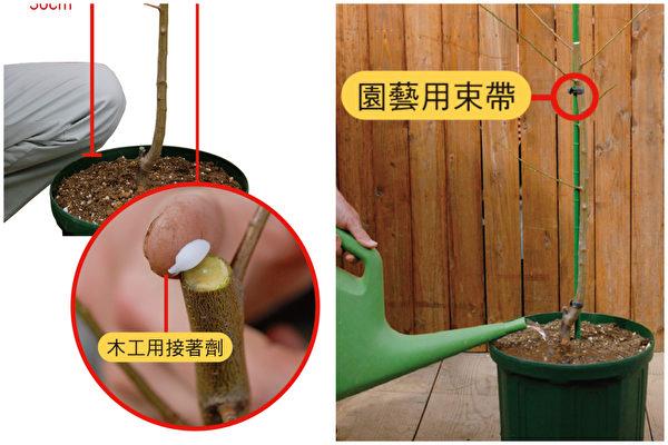 不失敗的樹苗移植法 種出好吃的果樹盆栽