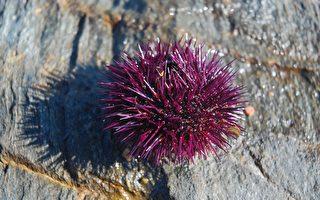 海膽激增危害海洋生態 專家籲民眾捕撈