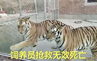 河南南阳两只老虎咬死饲养员出逃 被击毙