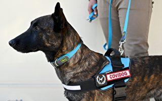 研究:嗅探犬检测病毒 准确率可达97%