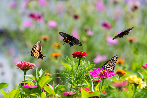 今夏最療癒植物 9種百日菊陪你一起抗疫