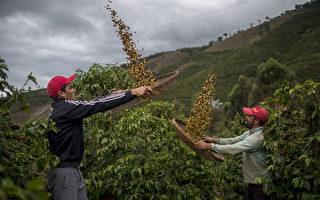 巴西遇91年來最嚴重乾旱 咖啡豆價格飆新高