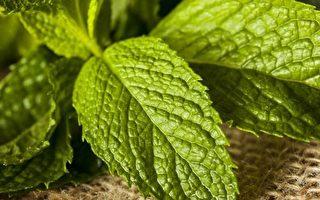 三種香草植物 新手也能輕鬆種