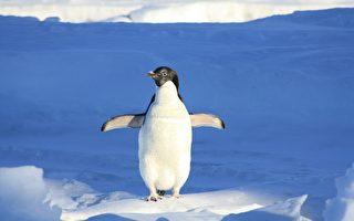 南极企鹅似乎太孤单 跳上游客的橡皮艇